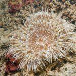 anemone margherita 20 150x150 Cereus pedunculatus  Anemone margherita