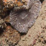 anemone margherita 21 150x150 Cereus pedunculatus  Anemone margherita