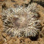 anemone margherita 25 150x150 Cereus pedunculatus  Anemone margherita