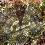 anemone margherita 28 150x150 Cereus pedunculatus  Anemone margherita