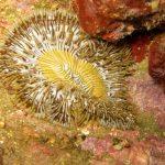 anemone margherita 30 150x150 Cereus pedunculatus  Anemone margherita