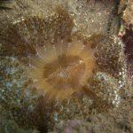 anemone margherita 33 150x150 Cereus pedunculatus  Anemone margherita