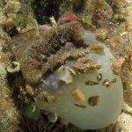 anemone margherita 49 150x150 Cereus pedunculatus  Anemone margherita