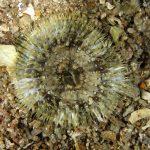 anemone margherita 50 150x150 Cereus pedunculatus  Anemone margherita