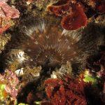 anemone margherita 51 150x150 Cereus pedunculatus  Anemone margherita