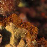 anemone margherita 56 150x150 Cereus pedunculatus  Anemone margherita