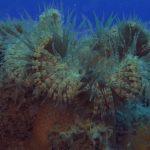 anemone margherita 57 150x150 Cereus pedunculatus  Anemone margherita