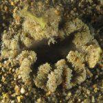 anemone margherita 63 150x150 Cereus pedunculatus  Anemone margherita