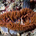 anemone margherita 64 150x150 Cereus pedunculatus  Anemone margherita