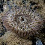 anemone margherita 65 150x150 Cereus pedunculatus  Anemone margherita