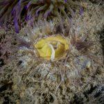 anemone margherita 66 150x150 Cereus pedunculatus  Anemone margherita