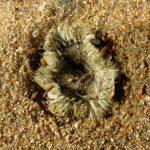 anemone margherita 70 150x150 Cereus pedunculatus  Anemone margherita