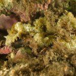 anemone margherita 73 150x150 Cereus pedunculatus  Anemone margherita