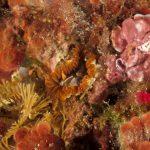 anemone margherita 82 150x150 Cereus pedunculatus  Anemone margherita