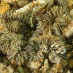 anemone margherita 83 150x150 Cereus pedunculatus  Anemone margherita