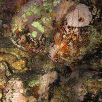 anemone notturno 04 150x150 Halcampoides purpurea, Anemone notturno