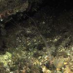anemone notturno 06 150x150 Halcampoides purpurea, Anemone notturno