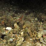 anemone notturno 07 150x150 Halcampoides purpurea, Anemone notturno