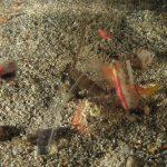 anemone notturno 25 150x150 Halcampoides purpurea, Anemone notturno