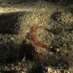 anemone notturno 26 150x150 Halcampoides purpurea, Anemone notturno