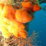 aplidio arancio 04 150x150 Aplidium tabarquensis   Aplidio arancio