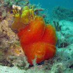 aplidio arancio 13 150x150 Aplidium tabarquensis   Aplidio arancio