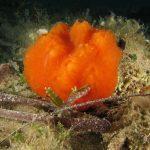 aplidio arancio 33 150x150 Aplidium tabarquensis   Aplidio arancio