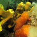 aplidio conico 22 150x150 Pseudodistoma crucigaster   Pseudodistoma crociato