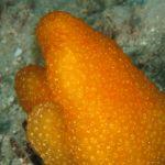 aplidio conico 44 150x150 Pseudodistoma crucigaster   Pseudodistoma crociato