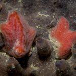 aplidio conico 49 150x150 Aplidium tabarquensis   Aplidio arancio