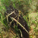 aplisia fasciata 09 150x150 Aplysia fasciata   Aplisia fasciata