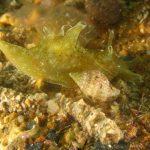 aplisia punteggiata 97 150x150 Aplysia fasciata   Aplisia fasciata