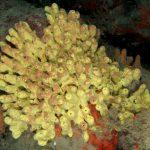 aplisina cavernicola 41 150x150 Aplysina cavernicola  Aplisina cavernicola