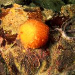 arancia di mare 31 150x150 Tethya aurantium, Spugna arancia di mare