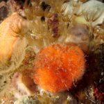 arancia di mare 44 150x150 Tethya aurantium, Spugna arancia di mare