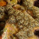 ascidia fiore 118 150x150 Botryllus schlosseri   Ascidia fiore