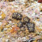 ascidia fiore 15 150x150 Botryllus schlosseri   Ascidia fiore