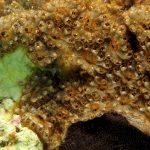 ascidia fiore 61 150x150 Botryllus schlosseri   Ascidia fiore