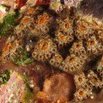 ascidia fiore 63 150x150 Botryllus schlosseri   Ascidia fiore