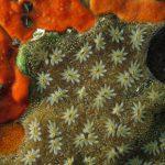 ascidia fiore 74 150x150 Botryllus schlosseri   Ascidia fiore