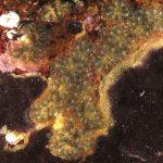ascidia fiore 83 150x150 Botryllus schlosseri   Ascidia fiore