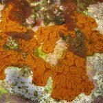 ascidia fiore composita a05 150x150 Botrjlloides sp.   Ascidia fiore composita