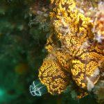 ascidia fiore composita a16 150x150 Botrjlloides sp.   Ascidia fiore composita