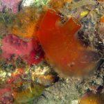 ascidia mentula 07 150x150 Ascidia mentula
