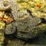 ascidia spongiforme 03 150x150 Diplosoma spongiforme   Ascidia spongiforme