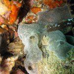 ascidia spongiforme 05 150x150 Diplosoma spongiforme   Ascidia spongiforme