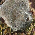 ascidia spongiforme 38 150x150 Diplosoma spongiforme   Ascidia spongiforme