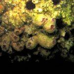 ascidia stiela 33 150x150 Ascidia stiela