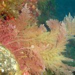 asparago marino 01 150x150 Asparagopsis armata   Asparago marino