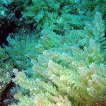 asparago marino 13 150x150 Asparagopsis armata   Asparago marino